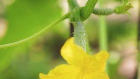 Gele bloemen van komkommersbloei op de struik bloeiende komkommers die in open grond worden gekweekt Aanplanting van Komkommers stock videobeelden