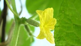 Gele bloemen van komkommersbloei op de struik bloeiende komkommers die in open grond worden gekweekt Aanplanting van Komkommers stock footage