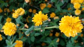 Gele bloemen van Overvloed stock fotografie