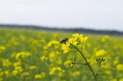 Gele bloemen van verkrachting royalty-vrije stock afbeelding