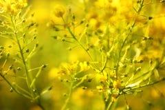 Gele bloemen van vulgaris Kruid Barbara van Barbarea royalty-vrije stock fotografie