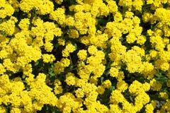 Gele bloemen voor achtergrond Stock Afbeeldingen