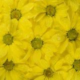 Gele bloemenachtergrond met waterdalingen Close-up Stock Afbeelding