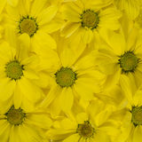 Gele bloemenachtergrond, patroon Close-up Royalty-vrije Stock Fotografie