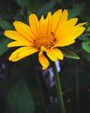 Gele bloemenbloei in de lente stock foto