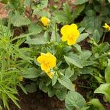 Gele bloemenclose-up Royalty-vrije Stock Afbeelding