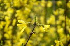 Gele bloemenforsythia in de lente royalty-vrije stock afbeelding