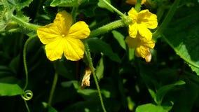 Gele bloemenkomkommer stock videobeelden