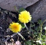 Gele bloemenpaardebloem in de lente vaas toe stock fotografie
