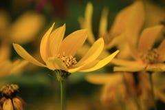 Gele bloemensymfonie royalty-vrije stock afbeelding