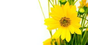Gele bloemheliopsis Stuifmeel op bloembloemblaadjes heldere sappige kleuren Groetkaart met vrije ruimte voor tekst Stock Afbeelding