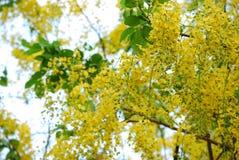 Gele bloeminstallatie in Thailand Stock Afbeelding