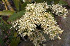 Gele bloemstam van Dendrobium-speciosum of de rotsorchidee van Sydney royalty-vrije stock fotografie