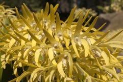 Gele bloemstam van Dendrobium-speciosum of de rotsorchidee van Sydney stock afbeeldingen