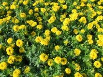 Gele bloemtuin stock afbeelding