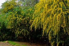 Gele bloesem Stock Afbeeldingen