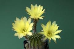 Gele bloesem van een cactus (Echinopsis) Stock Fotografie