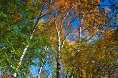 Gele bomen in herfstbos stock fotografie