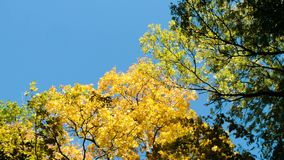 Gele bomen in het de herfstbos tegen de blauwe hemel, de camerabeweging en de exemplaarruimte stock video