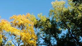 Gele bomen in het de herfstbos tegen de blauwe hemel, de camerabeweging en de exemplaarruimte stock footage