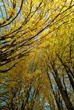 Gele bomen op daling Royalty-vrije Stock Afbeelding