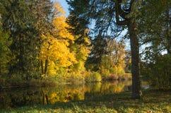 Gele bomen op de zonnekust van een vijver Stock Foto's