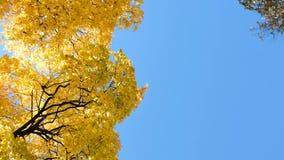 Gele bomenesdoorn in het de herfstbos tegen de blauwe hemel, de camerabeweging en de exemplaarruimte stock footage