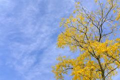 Gele boom in de herfst royalty-vrije stock afbeeldingen