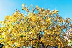 Gele boom en blauwe hemel, de herfstscène Royalty-vrije Stock Fotografie