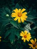 Gele Boomgoudsbloem, Mexicaanse tournesol, Mexicaanse zonnebloem, Japanse zonnebloem royalty-vrije stock foto's
