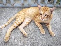 Gele Bored Cat Lying op de Vloer stock foto's