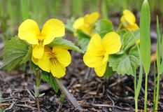 Gele bosviooltjes in de vroege lente royalty-vrije stock foto