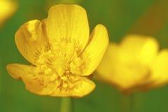 Gele boterbloem Royalty-vrije Stock Afbeelding