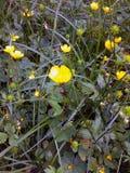 Gele boterbloem in het bos stock afbeelding
