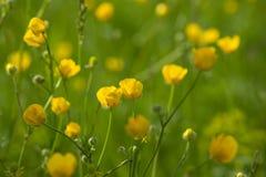 Gele boterbloemenbloemen in weide onder groen gras in de zomerdag Achtergrond Royalty-vrije Stock Fotografie