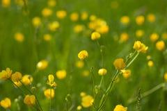 Gele boterbloemenbloemen in weide onder groen gras in de zomerdag Achtergrond Royalty-vrije Stock Foto