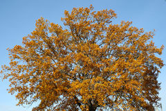 Gele bovenkant van een boom op hemelachtergrond Stock Foto