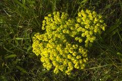 Gele bracteeën van een cipres spurge royalty-vrije stock fotografie