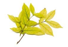 Gele brances van bladeren op witte achtergrond Stock Afbeelding