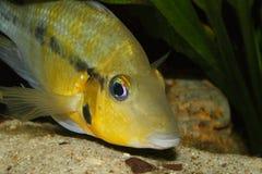 Gele Brandmond (Thorichthys-passionis) Royalty-vrije Stock Afbeeldingen