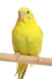 Gele budgie op een stok royalty-vrije stock foto