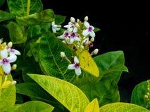 Gele butterfy op witte bloem - India Royalty-vrije Stock Afbeelding