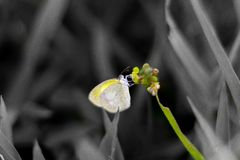 Gele buttlerfly Stock Foto's