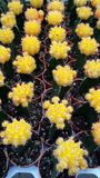 Gele Cactus Stock Foto's