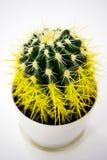 Gele cactus in een witte pot stock foto