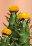 Gele cactusbloem Royalty-vrije Stock Afbeeldingen