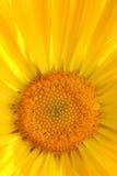 Gele calendulabloem Stock Afbeeldingen