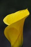 Gele Calla Lelie Royalty-vrije Stock Foto's