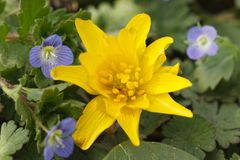 Gele Caltha-bloem en blauwe Germander-Ereprijs Royalty-vrije Stock Fotografie
