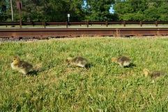 4 gele Canadese ganskuikens die op het gras langs de spoorwegsporen lopen met groene bomen op de achtergrond royalty-vrije stock foto's